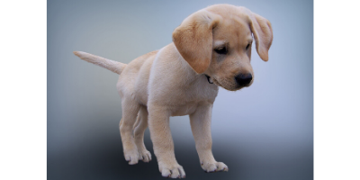 A cute puppy labrador