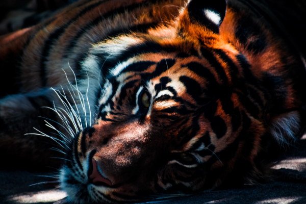 A picture of a tiger to represent the Fantastic Beasts exhibition at the Natural History Museum
