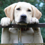 A picture of an extremely cute labrador with floppy ears and his paws up near his face looking over a wall or fence - you can only see his/her face and front paws. It's to represent animals. There's no gambling involved. It's just incredibly cute.